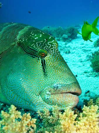 napoleon fish: Napoleon fish