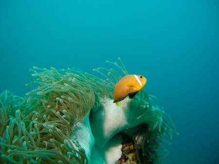 Damselfish and anemone Stock Photo