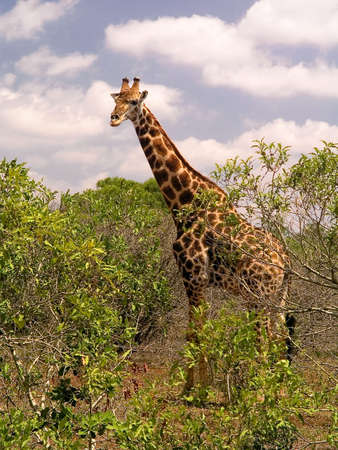 Giraffe in Kruger park, South Africa. photo
