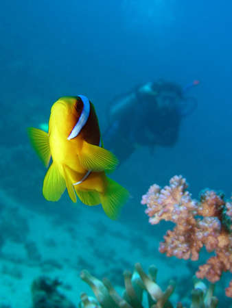 red coral colony: Damselfish and diver     Stock Photo