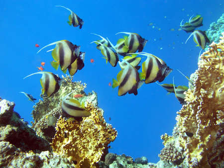 butterflyfish: Antenna Butterflyfish. shot in the Red Sea Stock Photo