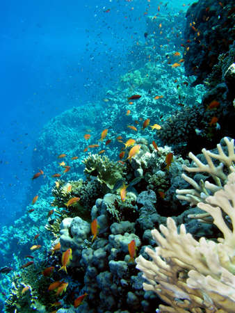Corals and fishes, Red sea-Egypt.     Stock Photo