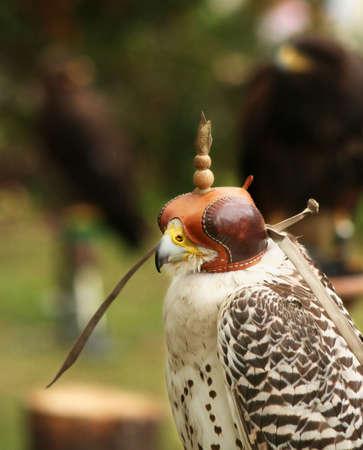 Blind falcon