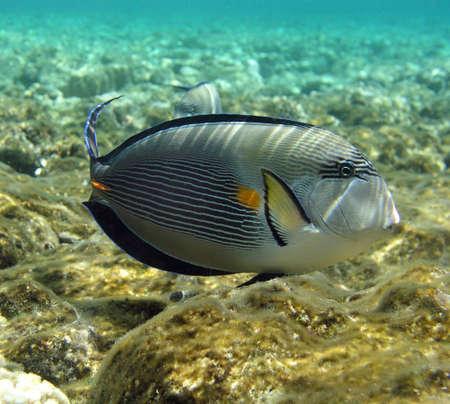 sohal: Sohal surgeonfish