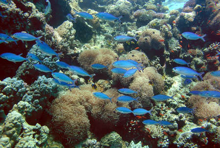 Anemone colony and blue fishes, Red sea