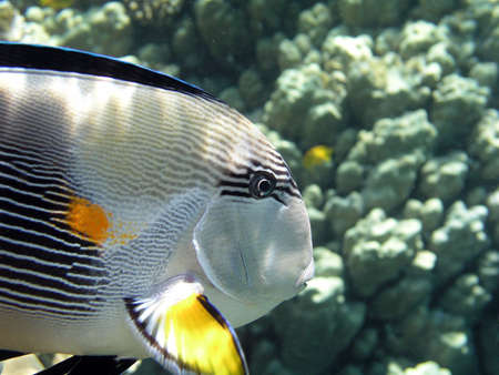 surgeonfish: Sohal surgeonfish in detail          Stock Photo