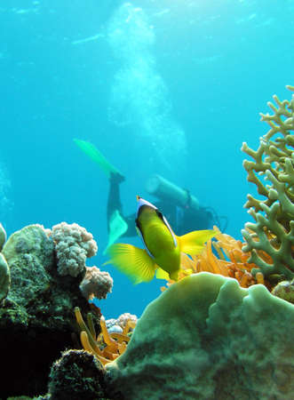 Damsel fish and diver in Red sea         Stock Photo