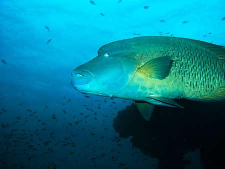 napoleon fish: Napoleon fish, Red sea