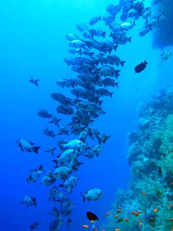 School of Fish, Red sea