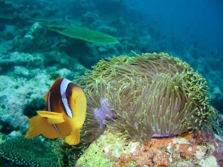 damselfish: Damselfish and anemone Stock Photo