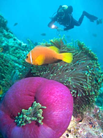 Damsel fish and diver