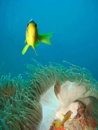 damsel: Damsel fish and anemone