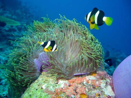 Damselfish and anemone, Indian ocean Stock Photo
