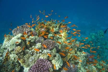 coral colony: Foto della colonia di corallo  Archivio Fotografico