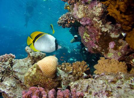 Fish, corals and snorkeling man