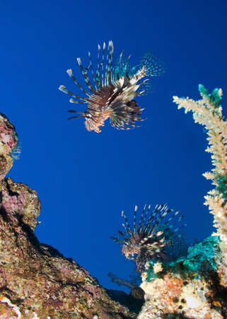 Group of Lionfish in blue water