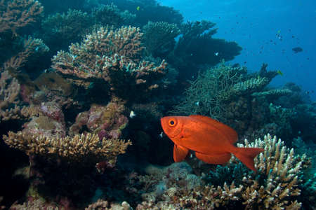 common target: Soldierfish