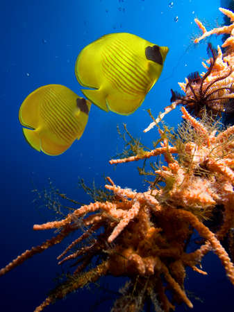 Underwater image of coral reef and Masked Butterfly Fish Stock Photo