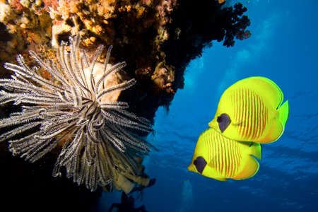 Underwater image of coral reef and Masked Butterfly Fish Stock Photo - 8662661