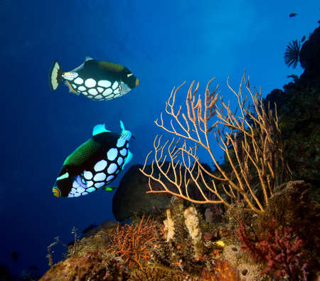 Clown Triggerfishes  photo