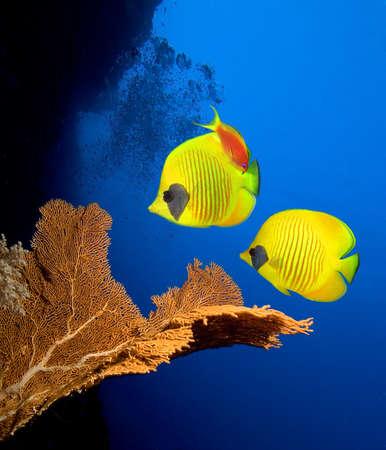 bahamas: Onderwater foto van de coral reef en gemaskerde vlinder vis