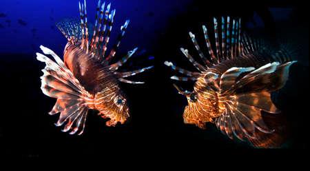 Lionfishes photo