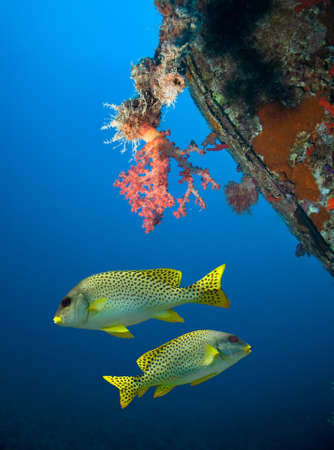 blackspotted: Blackspotted sweetlips under wreck