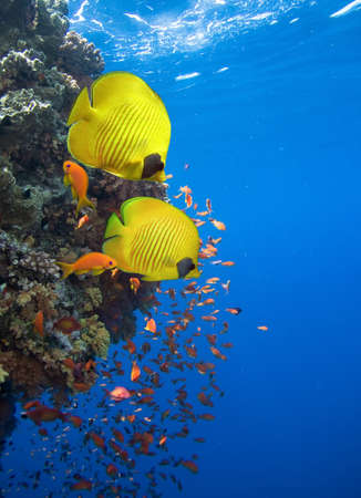 Underwater image of coral reef and Masked Butterfly Fish Stock Photo - 16260200