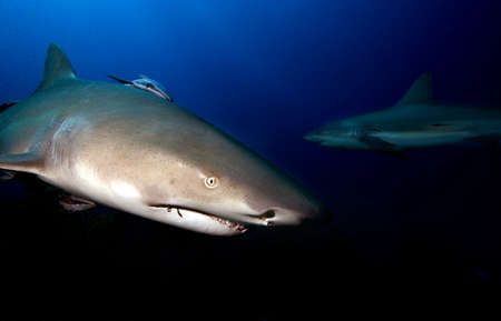 pez martillo: Tiburón limón  Foto de archivo
