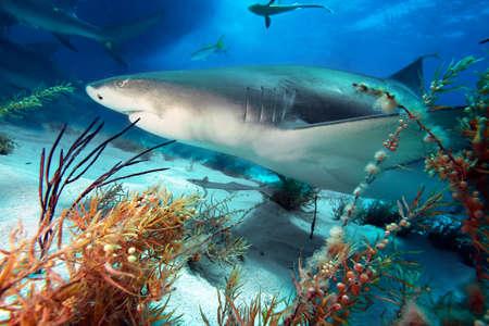 coral reef: Caribbean reef shark