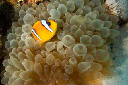 clown fish amphiprion: Clownfish