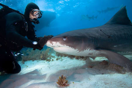 Diver interacting with a tiger shark Stock Photo