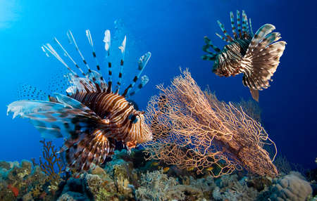 beneath the surface: Couple of lionfish, Red sea Stock Photo