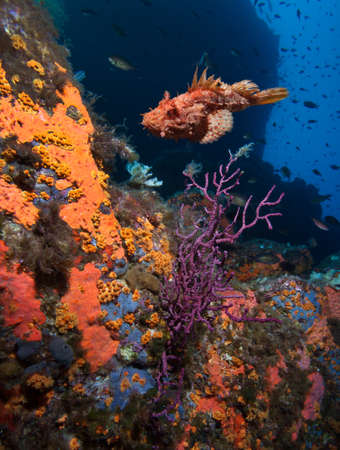 stonefish: Coral reef and scorpionfish, Mediterranean sea. Stock Photo