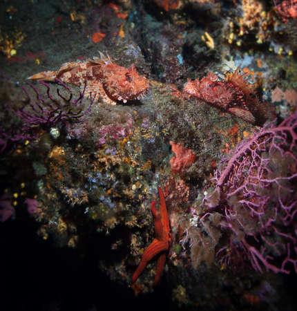 scorpionfish: Coral reef and scorpionfish, Mediterranean sea. Stock Photo