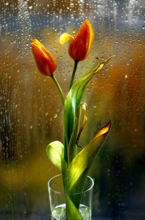 wilting: The image of two tulips on a background of a glass in drops covered by the sun Stock Photo