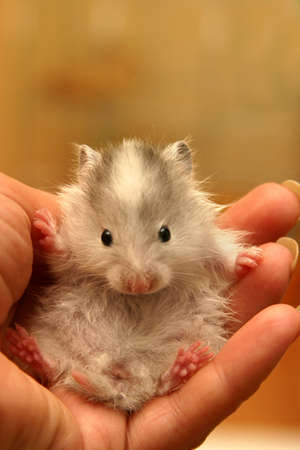 dwarfish: Small hamster in a female hand