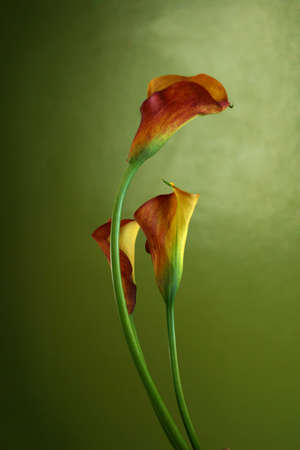 Red callas stand against a green background photo