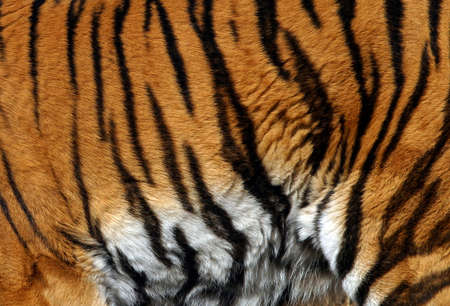 water stained: Sample of a tiger