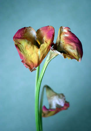 withering: Three withering callas on a blue background