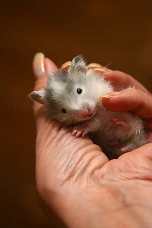 hamsters: Small hamster in a female hand