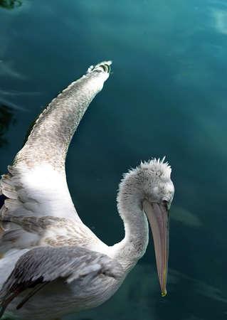 pelikan: Pelikan in the pool Stock Photo