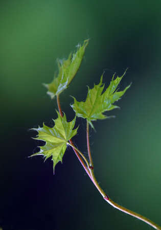 Small leaves of a maple illuminated by the sun Stock Photo - 564516