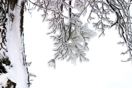 blanketed: Winter sketch. Branches in snow Stock Photo