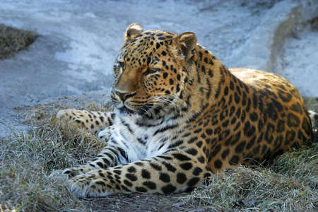 sported: The leopard has a rest