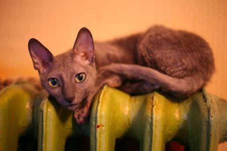 cornish: Cornish Rex cat on a green heater