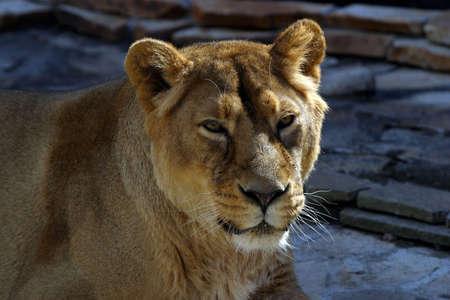 sported: Portrait of a lioness close-up