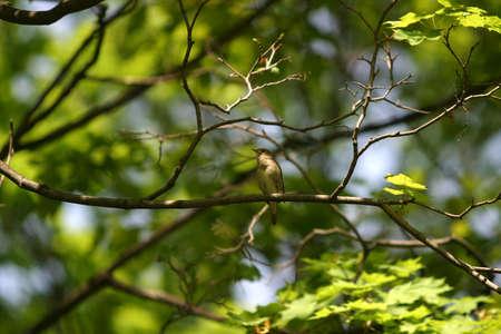 ruise�or: El ruise�or se sienta en una rama de un �rbol con hojas despedidos. Aves en el centro