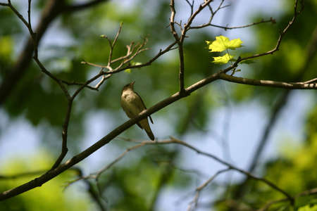 ruise�or: El ruise�or se sienta en una rama de un �rbol con hojas despedidos. Aves en el centro, el resto es escasa