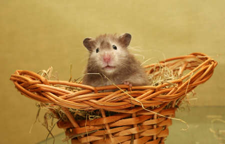 dwarfish: Grey hamster in a wum basket